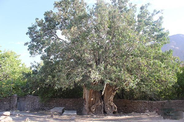 Iran's oldest pistachio tree